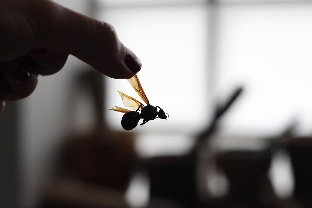 """Içá, um tipo de formiga comestível (come-se o """"bumbum"""")"""