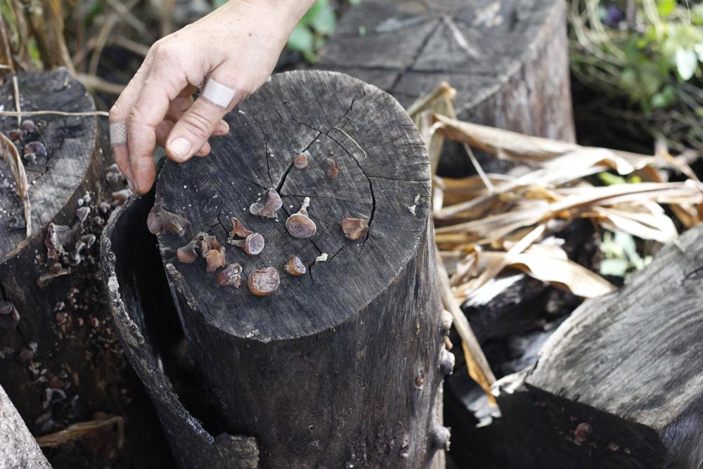 Cogumelos judeu em um tronco qualquer da praça